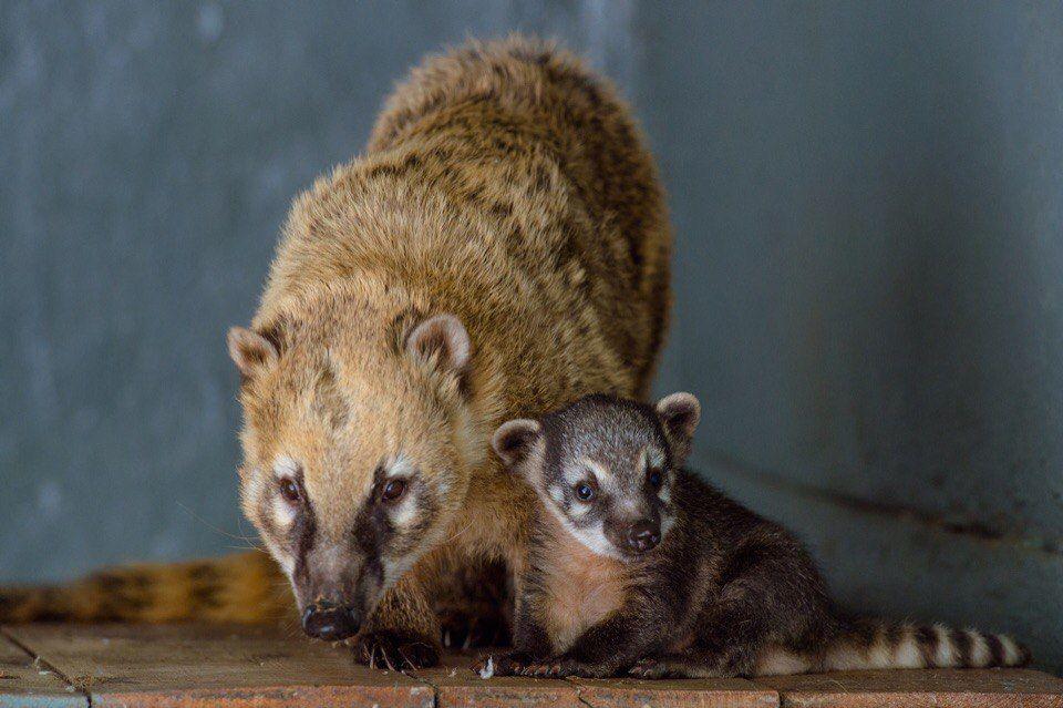 Детеныш носухи родился вростовском зоопарке