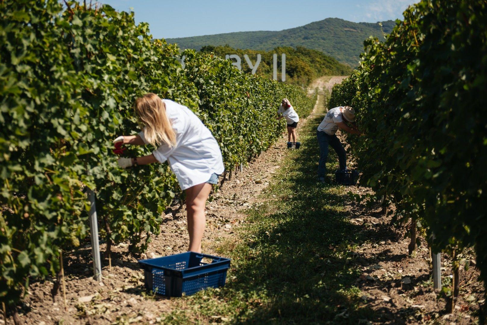 ©Фото пресс-службы винодельни «Сикоры»