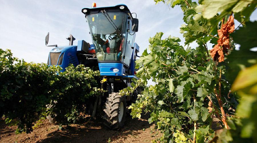 Сбор винограда на Кубани ©Влад Александров, ЮГА.ру