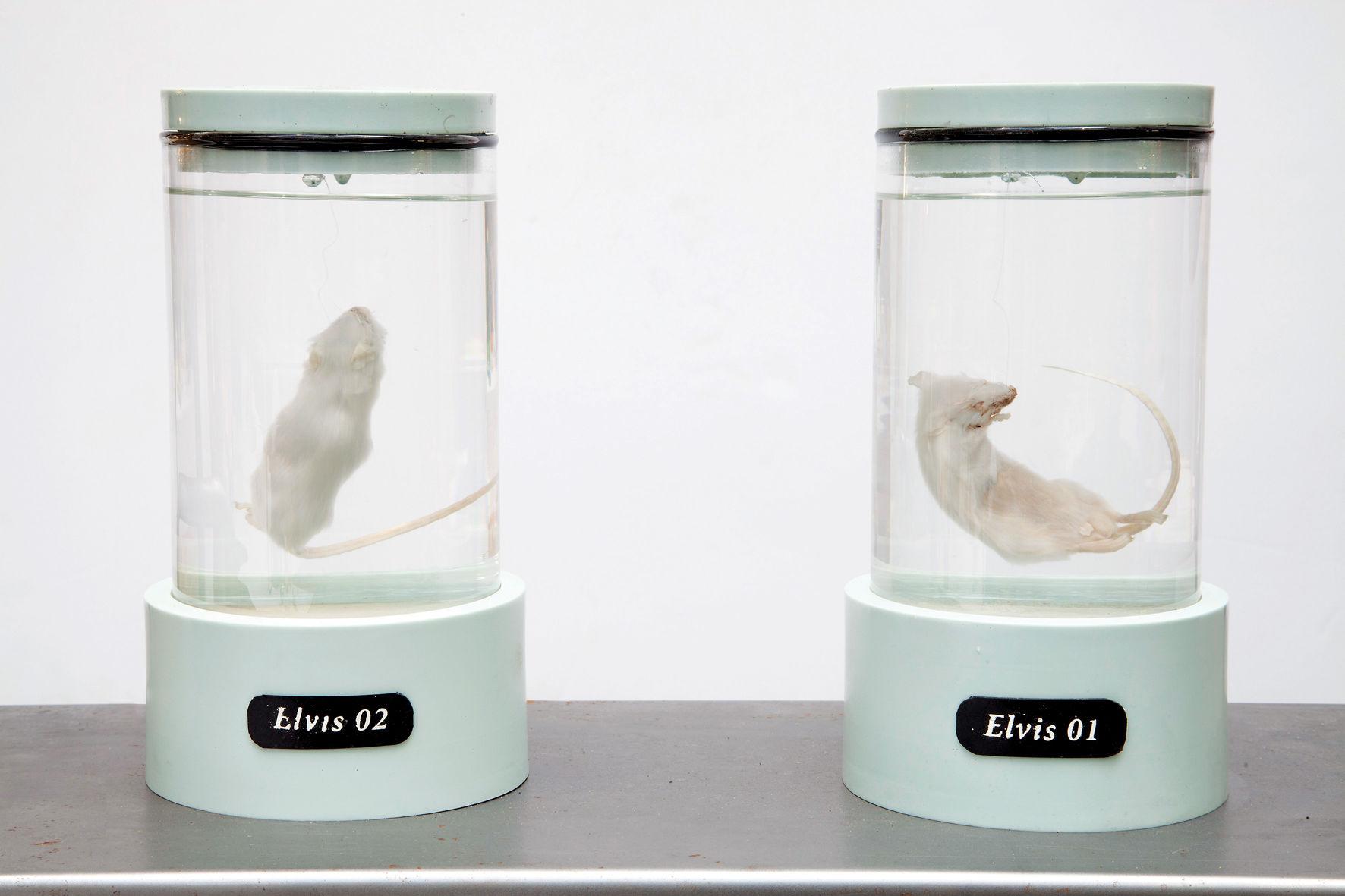 Коби Бархад (Израиль), «Все, что я есть». Изготовление трансгенных мышей на основе генетической информации, извлеченной из образцов волос Элвиса Пресли. При поддержке Исследовательского центра Pinta Acoustic Inc. и при участии Сооми Парк, Йосуке Ушиг ©Фото Коби Бархада