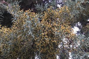 Цветущий кипарис ©Фото пресс-службы Сочинского нацпарка