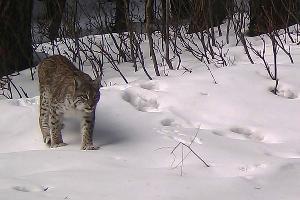 Рысь ©Фото пресс-службы Кавказского биосферного заповедника