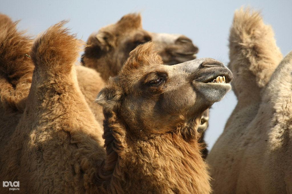 Вколхозе наСтаврополье взялись заразведение верблюдов