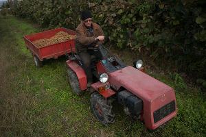 Сбор киви в Адлерском районе ©Фото Юга.ру
