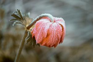 Замерзший цветок ©Фото с сайта pixabay.com