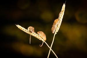 Полевые мыши ©Фото Nick Fewings, unsplash.com