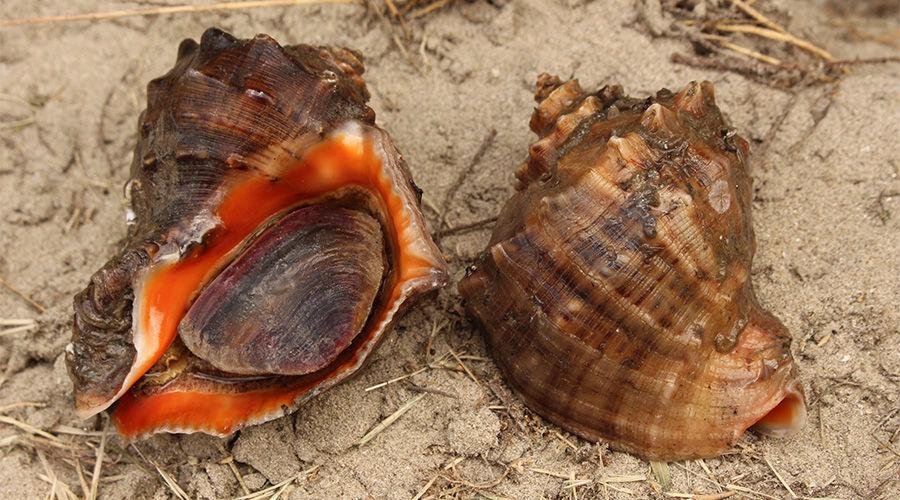 Венозная рапана ©Фото Holger Krisp, wikipedia.org