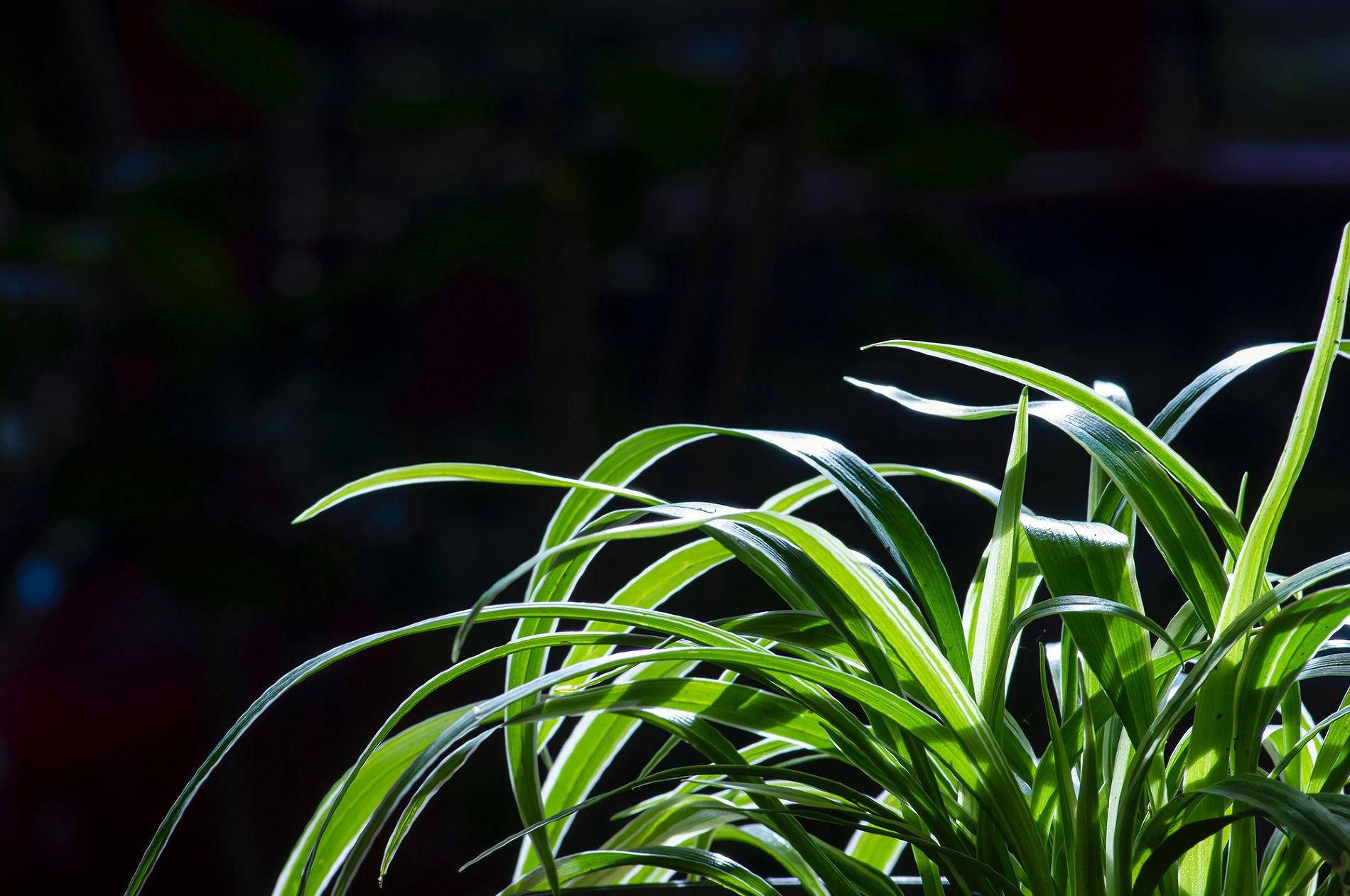 Хлорофитум ©Фото Jakasuryanta, freepik.com