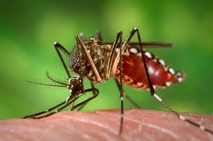 ВОЗ перестала считать вирус Зика повсеместной угрозой