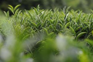 Чайная плантация ©Фото Александра Никонова, Юга.ру