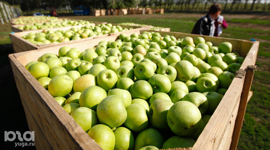Сбор яблок в Краснодарском крае ©Влад Александров, ЮГА.ру