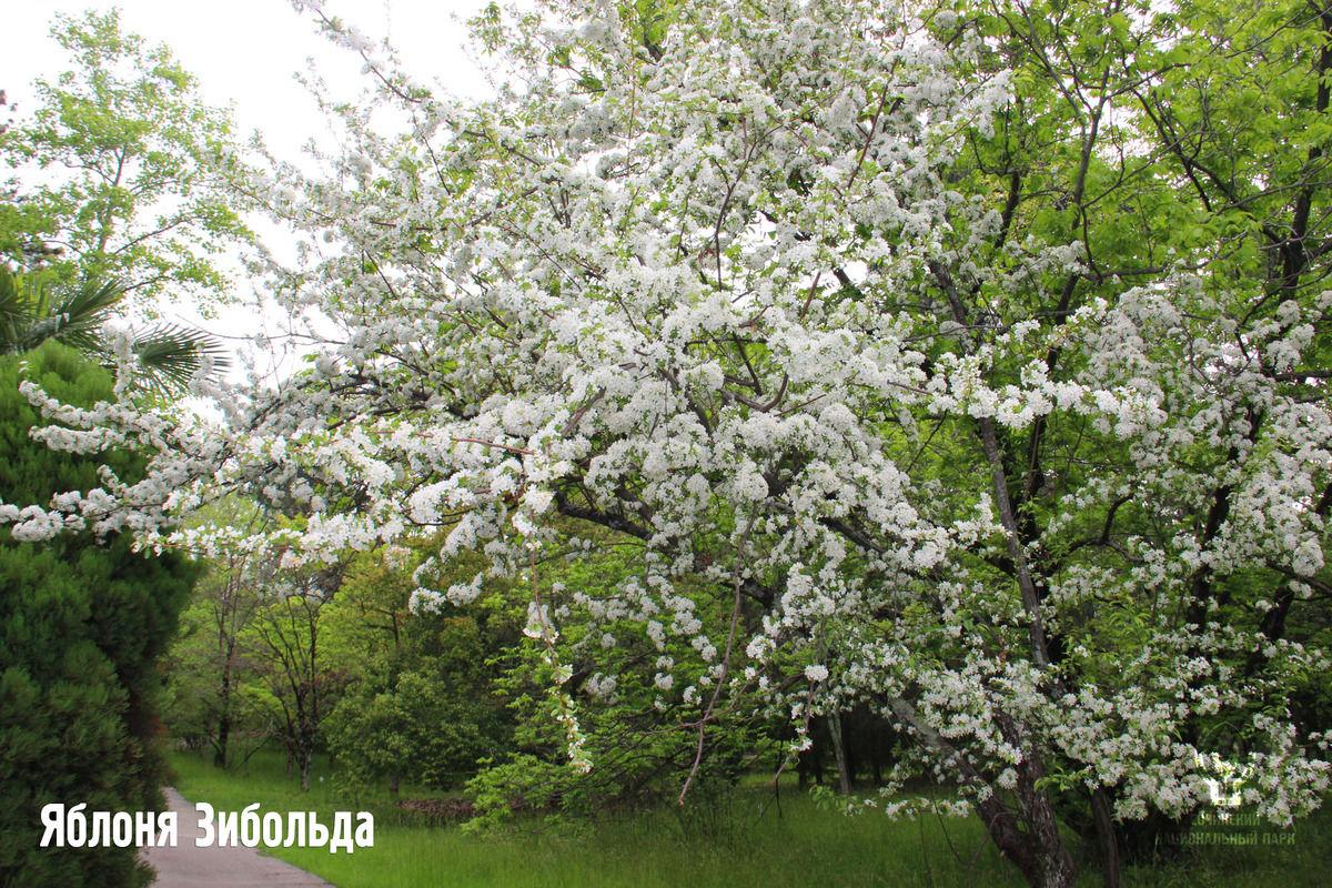 Яблоня Зибольда ©Фото пресс-службы Сочинского нацпарка
