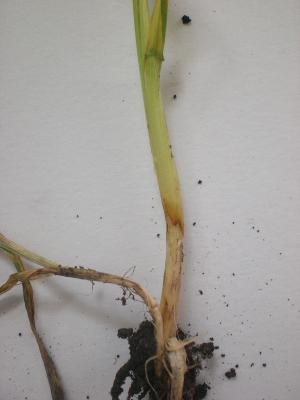 Растение, пораженное ризоктонией