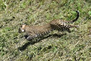 Леопард Артек ©Фото пресс-службы Кавказского биосферного заповедника