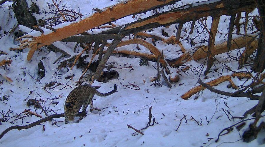 Переднеазиатский леопард ©Фото пресс-службы Кавказского заповедника