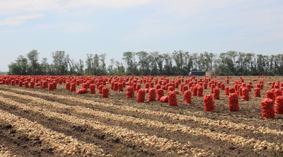 Луковое поле ©Фото пресс-службы Тимашевского района