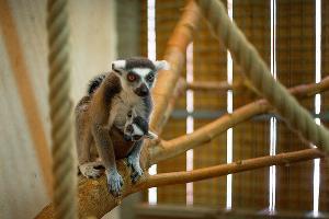 Лемуры в Ростовском зоопарке ©Фото из группы «Ростовский зоопарк» «ВКонтакте», vk.com/rostzoo