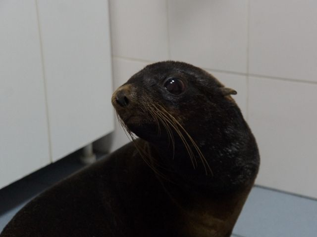 ВРостове ветеринары извлекли изжелудка морского котика игрушку