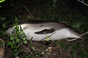 Мертвый дельфин, найденный в лесу в Сочи ©Фото с сайта golos-kubani.ru