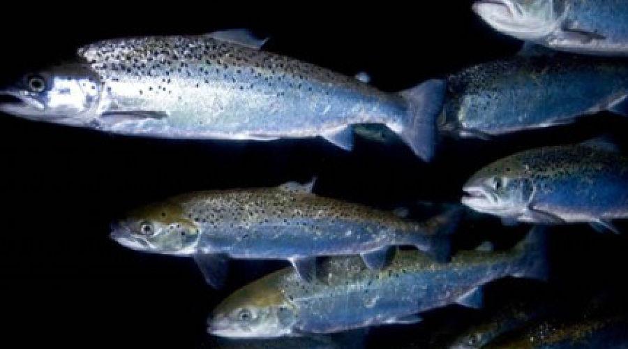 Черноморский лосось ©Фото Юга.ру