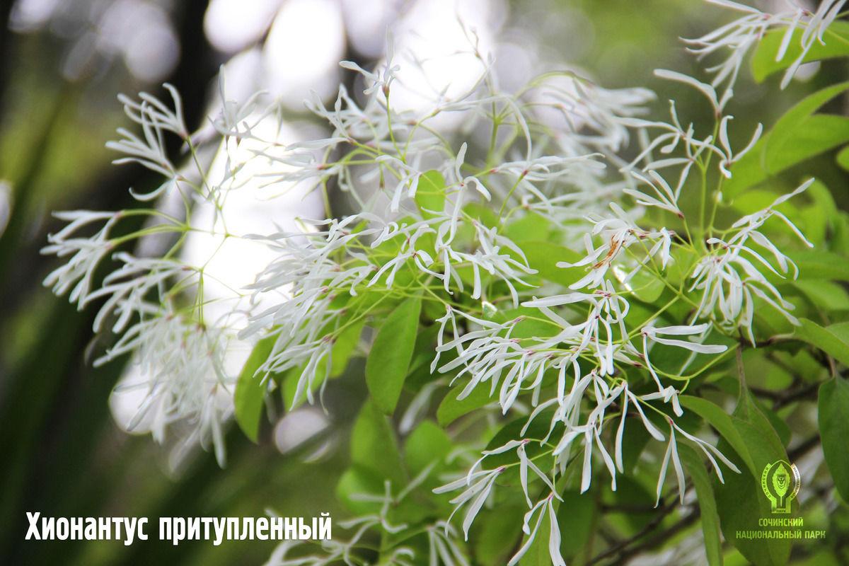 Хионантус притупленный ©Фото пресс-службы Сочинского нацпарка
