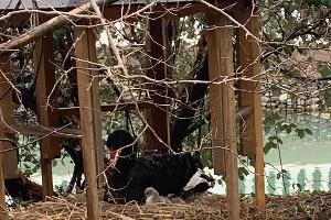 В Сочи у пары черных лебедей появились птенцы ©Фото пресс-службы Кавказского биосферного заповедника