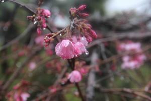 Сакура арияки или вишня мелкопильчатая ©Фото пресс-службы Сочинского нацпарка