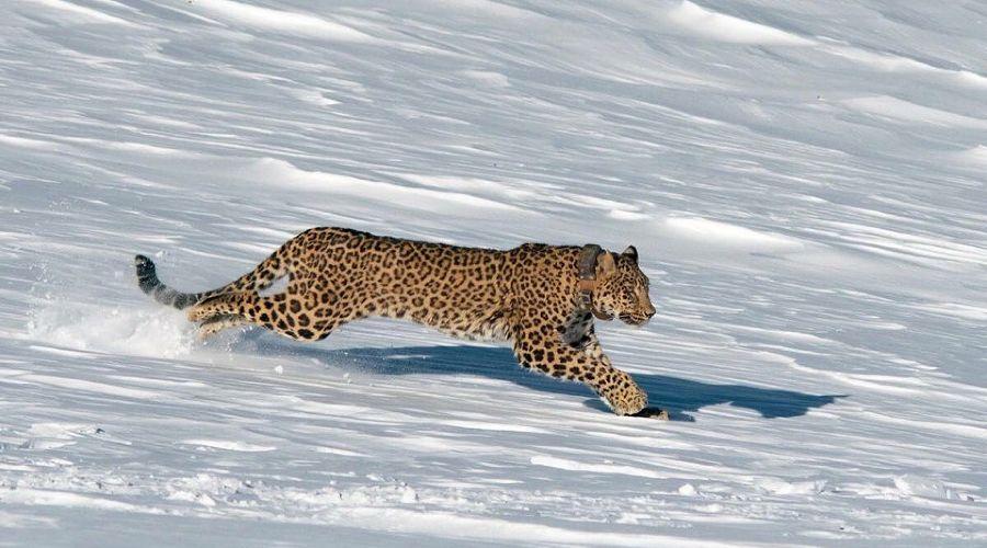 Преднеазиатский леопард ©Фото пресс-службы Кавказского биосферного заповедника