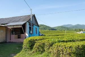 Чайная плантация ©Фото Екатерины Штыбиной