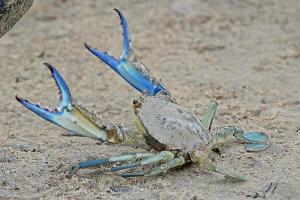 Голубой краб ©Фото с сайта animalreader.ru