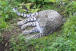 Леопард Генерал ©Фото пресс-службы Сочинского нацпарка