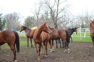 Аукцион по продаже племенных лошадей в Новокубанском районе ©Фото Дениса Яковлева, Юга.ру