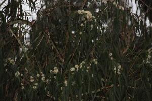 Эвкалипт ©Фото пресс-службы Сочинского национального парка
