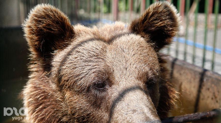Владикавказский зоопарк. Медведь ©Фото Влада Александрова, Юга.ру