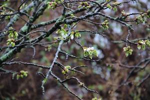 Вишня полущетинистая колючая ©Фото пресс-службы Сочинского нацпарка