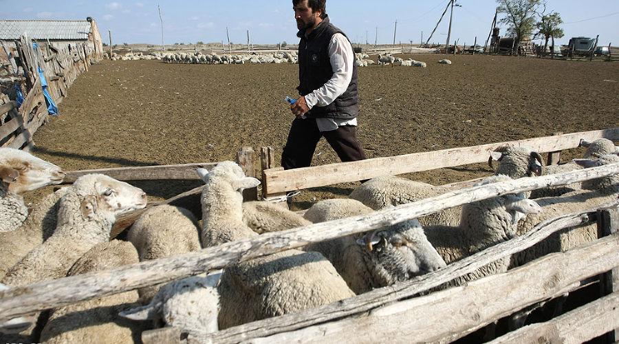 В Чечне начали разводить верблюдов  ©Влад Александров. ЮГА.ру