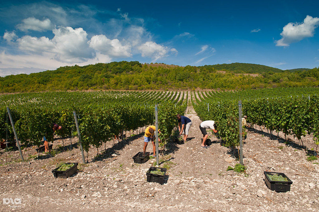 Первый в России высокотехнологичный виноградный питомник открылся в Темрюкском районе