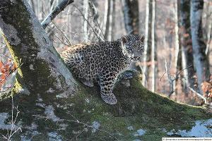Преднеазиатский леопард ©Фото пресс-службы Сочинского нацпарка