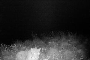 Артек в объективе фотоловушки ©Фото пресс-службы отделения «Российский Кавказ» WWF России