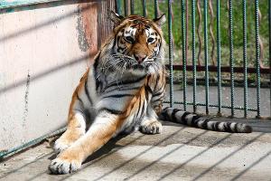 Владикавказский зоопарк. Тигр ©Влад Александров, ЮГА.ру