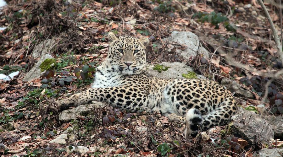 Самка леопарда Виктория ©Фото АНО «Центр природы Кавказа»