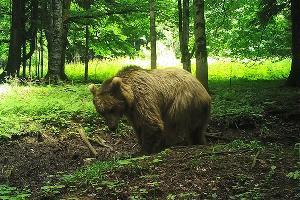 Бурый медведь неподалеку от места выпуска Артека ©Фото пресс-службы отделения «Российский Кавказ» WWF России