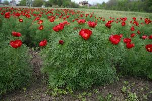 Пион тонколистный ©Фото Ботанического сада ЮФУ