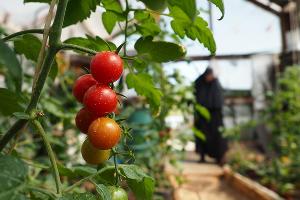 Урожай тепличных овощей ©Фото Виталия Тимкива, Юга.ру