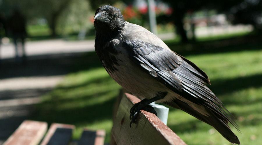 Серая ворона ©Фото с сайта pixabay.com
