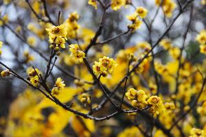 Химонантус, или ледяной цветок ©Фото пресс-службы Сочинского нацпарка