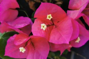 Цветущая бугенвиллея ©Инстаграм парка «Краснодар»