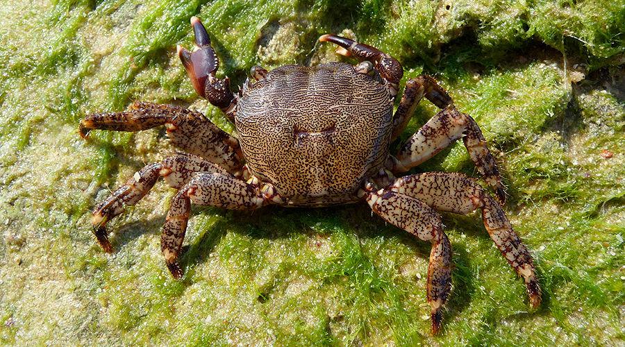 Мраморный краб ©Фото George Chernilevsky, wikipedia.org