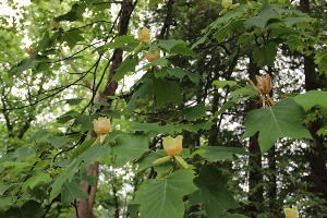Тюльпанное дерево ©Фото пресс-службы Сочинского нацпарка