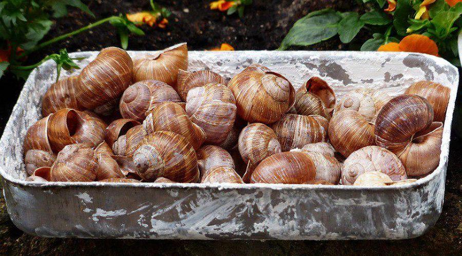 Виноградная улитка ©Фото Hans с сайта pixabay.com